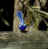 splendid fairy wren (Griffins Photos) Tags: bird wren blue australia