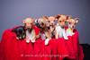 Puppies (Alfred Kirst) Tags: akiii photography alfred kirst iii chihuahua rescue transport male ak3photography akiiiphotography alfredkirstiii chi dog dogs malechihuahua planopetphotographer texas adoptablepuppies chihuahuarescueandtransport cute cutepuppy cutie femalechihuahua fosterdog fosterpuppies longhairchihuahua plano puppies puppy zukepets