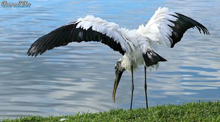 The stork is a bird with a great big bill; He brings us the babies whenever he will; Then comes the doctor and when he is through You find that he has a big bill too!