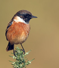 Stonechat (oddie25) Tags: canon 1dx 600mmf4ii stonechat chat chats birds birdphotography bird nature naturephotography wildlife wildlifephotography brean