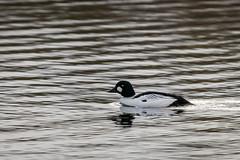 Goldeneye (iantaylor19) Tags: goldeneye warwickshire wildlife trust brandon marsh reserve british birds