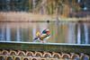 Potsdam - Sans Souci Parks (DanGrothe) Tags: ente mandarinente