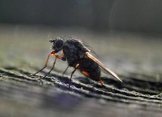 Backlit fly {explored}