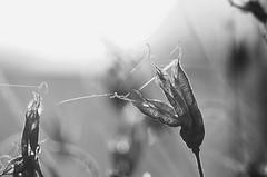 Aquilegia (Jess Roberts7) Tags: seeds seed head dead plant flower monochrome black white nature garden