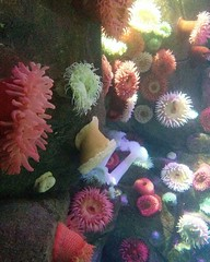 Anemones (3) #toronto #ripleysaquarium #aquarium #anemone #latergram (randyfmcdonald) Tags: ripleysaquarium latergram aquarium toronto anemone