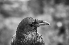 Curious Raven (The Shared Experience) Tags: d800 ut 2014 birds raven crow