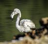 Flamenco  - Flamingo (ibzsierra) Tags: ibiza eivissa baleares canon 7d tamron 150600 g2 ave bird oiseau salinas parque natrural