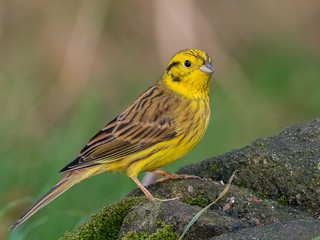 Yellowhammer, Derbyshire.  DSC_8933.jpg