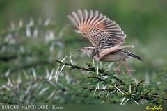 (Species #1152) RUFOUS-NAPED LARK - [ Nairobi NP, Kenya ] (tinyfishy's World Birds-In-Flight) Tags: mirafra africana rufous naped lark nairobi kenya