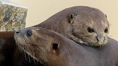 Just The Two Of Us (Obelus2000) Tags: otter giantotter yorkshirewildlifepark otters moraandalexandra mora alexandra mustelidae fz330 fz300
