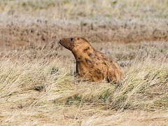 MID_0640 (mikedoylepics) Tags: seal seals greyseal donnanook lincolnshire lincolnshirewildlifetrust animals british britishwildlife d500 mammals nature nikon nikond500 wildlife wild