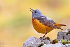 Codirossone !!! (marcello.bertilotti) Tags: uccello roccia common rock thrush