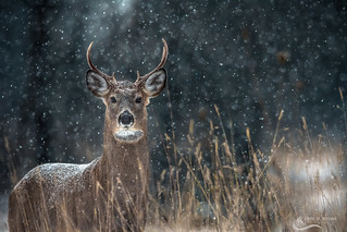 White Tail Deer -in the snow