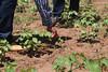 IMG_3229 (Cooperacion Brasil-FAO) Tags: algodón proyecto cooperaciónsursur brasilfao paraguay utd unfao visita