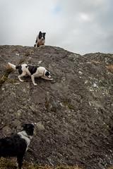 51/52 ED 5.10 (JJFET) Tags: 51 52 weeks for dogs elk border collie dog sheepdog herding