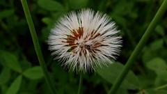 I'M a dandelion. (amrelshazly535) Tags: flower flora dandelion white green nature colors outsides
