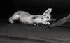 Motion Kittens 37 (peter_hasselbom) Tags: cat cats kitten kittens abyssinian 10weeksold play game fight hunt playfight playing naturallight motionblur motion bw blackandwhite 2cats 2kittens twocats