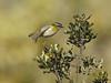 roitelet (frederic.laroche6) Tags: roitelet bird oiseau greoux provence nikon d7100 nikkor 200 500 f56