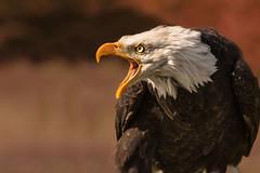 temper frayed (jeff.white18) Tags: baldeagle birdofprey bird beak preditor raptor portrait eye eagle feathers nature flickr