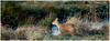 Chinese Water Deer. (vegetus aer) Tags: woodwaltonfen greatfen greatfenproject wildlifetrust bcnwildlifetrust nnr cambridgeshire chinese water deer chinesewaterdeer sony rx10m3