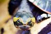 🐢Emydura subglobosa - December 2017🐢 (Adrien Photography) Tags: tortue turtle tête head carapace shell aqua eau aquarium