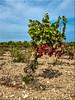 Hier wächst die Wahrheit (juvhadamar) Tags: wahrheit wein wine vino rebe pflanze languedocroussillon leucate green