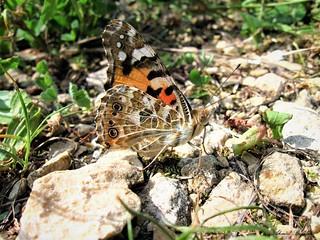 Butterfly 1543