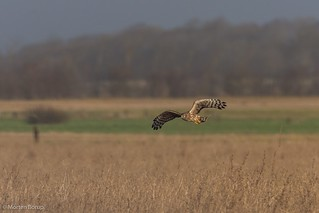 Northern Harrier - Blå kærhøg