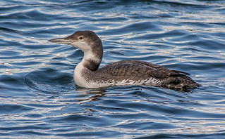 JWL2718 Great Northern Diver..