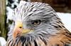 Milan Royal 2 (jean-daniel david) Tags: oiseau rapace milan milanroyal bec oeil nature plume plumage