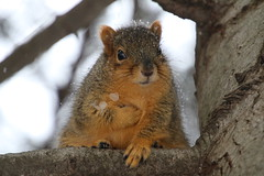206/365/3493 (January 3, 2018) - Squirrels in Ann Arbor on a Cold and Snowy Winter's Day at the University of Michigan (January 3, 2018) (cseeman) Tags: gobluesquirrels squirrels annarbor michigan animal campus universityofmichigan umsquirrels01032018 winter eating peanut januaryumsquirrel umsquirrel snowsquirrels snow snowy climber squirrelclimber 2018project365coreys yeartenproject365coreys project365 p365cs012018 356project2018