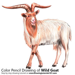 Wild Goat with Color Pencils [Time Lapse] (drawingtutorials101.com) Tags: wild goat capra aegagrus goats animal animals sketching sketch sketches draw drawing drawings color colors coloring pencil how speed timelapse video