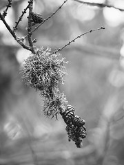 Colonized (Petr Horak) Tags: em1 bokeh olympus macro larch winter mzuikopro m43 microfourthirds closeup nature outdoor tree mft lichen branch