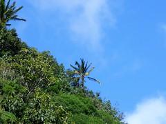 Wailua River State Park - Fern Grotto (81) (pensivelaw1) Tags: hawaii kauai wailuariverstatepark ferngrotto