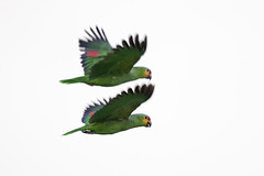 Red-Lored Parrot (Alan Gutsell) Tags: texasbirds bird birding alan wildlife nature southtexasbirds redlored parrot red lored redloredparrot flight