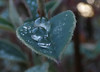 Gotas. Drops 72. (bego vega) Tags: gota drop droplets hojas leaves rain lluvia agua water aligustre macro madrid vf vega veguita bego begovega bv