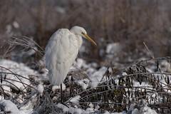 White and white (Ricky_71) Tags: western great egret ardea alba winter snow nikon
