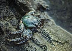 emerald scavenger (gnarlydog) Tags: fiji adaptedlens manualfocus crab marinelife colorful vintagelens jupiter11135mmf4 russianlens animal beach