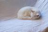 Arctic Fox (rootcrop54) Tags: white allwhite charlie male arcticfox arctic fox neko macska kedi 猫 kočka kissa γάτα köttur kucing gatto 고양이 kaķis katė katt katze katzen kot кошка mačka gatos maček kitteh chat ネコ snow sleeping nature cc100 cc900