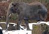 african elephant Ouwehands BB2A1003 (j.a.kok) Tags: olifant elephant afrikaanseolifant africanelephant africa afrika animal ouwehands mammal zoogdier dier ouwehandsdierenpark herbivore snow sneeuw