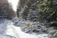 And so, Winter Begins (TheNovaScotian1991) Tags: victoriapark colchestercounty novascotia canada truro maritimes winterlandscape beautiful snowcovered snow snowing wind hemlocktree blackspruce trees forest pathway footprints morninglight nikond3200 afsdxnikkor1855mmf3556gvrii kitlens winter