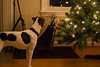 Wonder and Joy (marylea) Tags: dec3 2017 christmas advent dog dogs parsonrussellterrier parsonrussell preparations tree christmastree