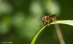 Orange legged fly (Photosuze) Tags: flies insects bugs hairy animals nature wildlife