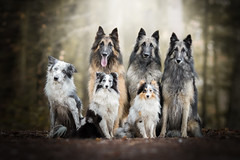 Stepfamily (Audrey Bellot Photographie) Tags: dogs family forest shelties tervuren border collie