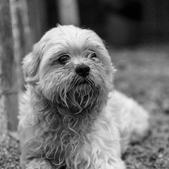 Dustin17Dec201740-Edit.jpg (fredstrobel) Tags: dogs pawsatanta phototype atlanta blackandwhite usa animals ga pets places pawsdogs decatur georgia unitedstates us