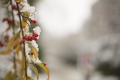 Red and white (sonia.sanre) Tags: berries winterberries cambridge invierno winter nieve snow plant flowers white red
