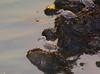 ROO_0306 (Capt. Remegio Ocmen Jr.) Tags: bird birdphotography birdlover lovebird beautifulbird birdsphotography birdtags wildlife wildbirds beautifulnature beautifulnaturephotography naturelover birdwatching nikonbirds nikondslr nikoncamera nikonphotography birding wildlifephotography birdwatcher nikonwildlife birdphotos birdworld animalphotography birdcapture