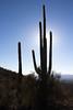 Saguaro Silhouette   Carnegiea gigantea (Stuart Borrett) Tags: arizona tucson christmas2017 cactus plant desert sonoran tucsonmountaindistrict silhouette halo sky nature saguaro saguaronationalpark