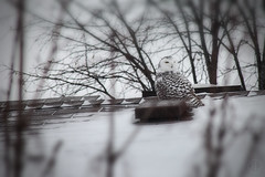 Snowy-Owl (RickLev) Tags: 5d barrhaven bird canada canon levesque markii ontario ottawa owl rick rooftop snowy