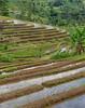 Rice Terraces (monojussi) Tags: bali jatiluwih indonesia subak terraces